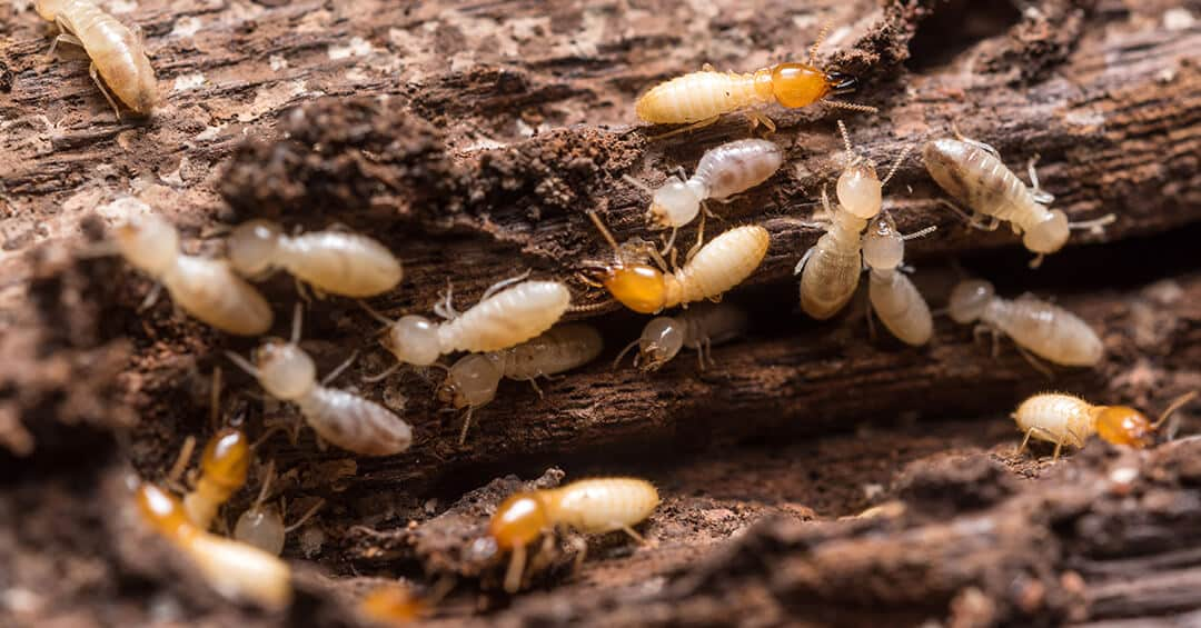 Drywood Termites The Best Strategy of Control