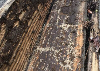 Subterranean termites found in fence board